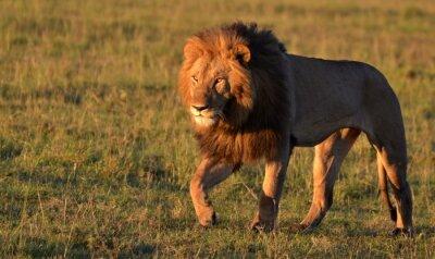 Adesivo African Lion
