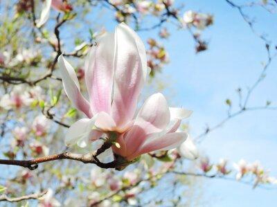 Adesivo albero fiore di magnolia