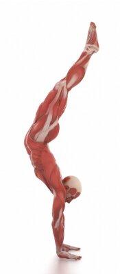 Adesivo Anatomia mappa muscolare bianca isolata - riscaldare posa