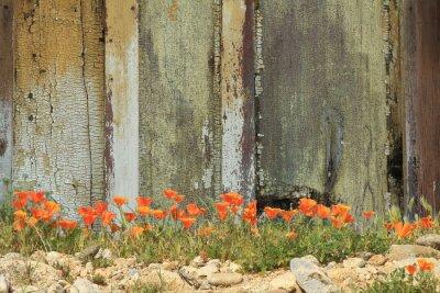 Adesivo Arancione brillante California papaveri che crescono accanto ad una staccionata in legno stagionato.