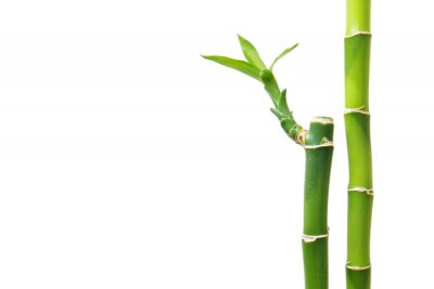 Adesivo Bambù fresco isolato su sfondo bianco