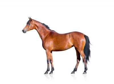Adesivo Bay horse isolated on white background
