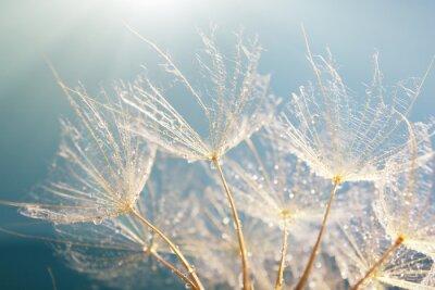 Adesivo Beautiful dandelion with seeds, macro view