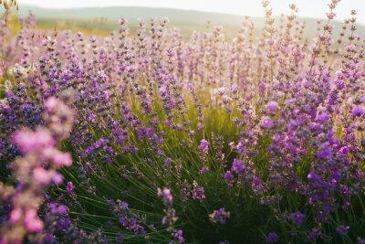 Adesivo Beautiful lavender field