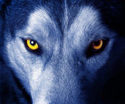 Adesivo begli occhi di un lupo selvatico.