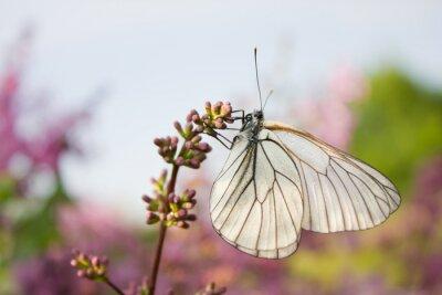 Adesivo bella farfalla seduta su fiori di lillà