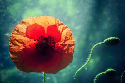 Adesivo Bella fiore di papavero contro illuminata sfondo verde, retroilluminazione