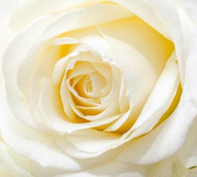 Adesivo Bella rosa bianca