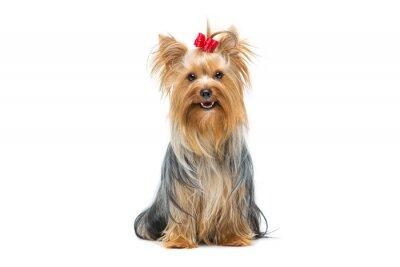 Adesivo Bella yorkshire terrier seduta