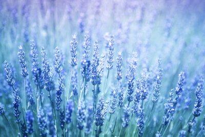 Adesivo Belle offuscata piante a fioritura di lavanda primo piano sfondo. Blu filtro di colore viola e messa a fuoco selettiva utilizzati.