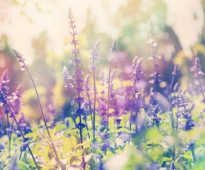 Adesivo bellissimo sfondo estate, campo di lavanda, close up