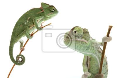 Adesivo Bello bambino camaleonte come animale domestico esotico è isolato su bianco