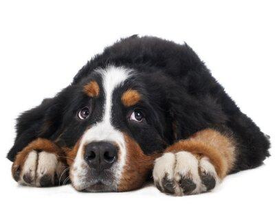 Adesivo Berner Sennenhund su uno sfondo bianco in studio, triste cane