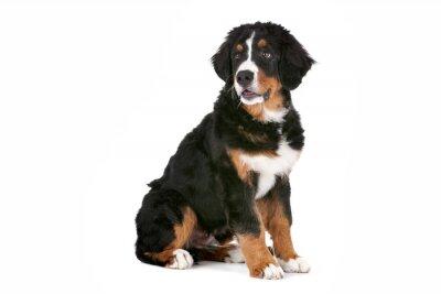 Adesivo Bernese Mountain Dog cucciolo