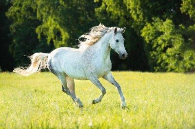 Adesivo Bianco cavallo arabo corre al galoppo nella luce del tramonto