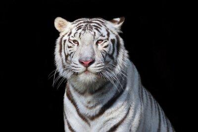 Adesivo Bianco tigre del Bengala su sfondo nero. La bestia più pericolosa mostra la sua grandezza calma. Selvaggia bellezza di un grave grosso gatto.