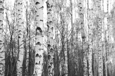 Adesivo bosco di betulle, foto in bianco-nero
