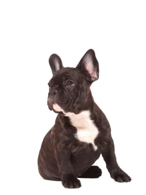 Adesivo Bulldog francese (3 mesi) - Stock Image