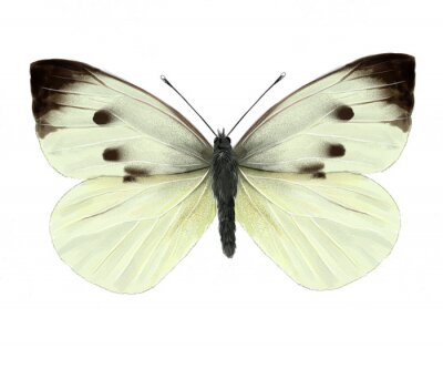 Adesivo cabbage butterfly