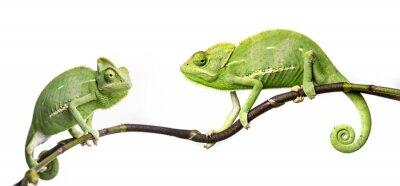 Adesivo camaleonti