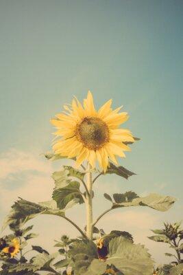 Adesivo campo di fiori di girasole cielo blu annata retrò