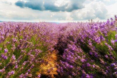 Adesivo campo di lavanda, Plateau de Valensole, Provence, Francia