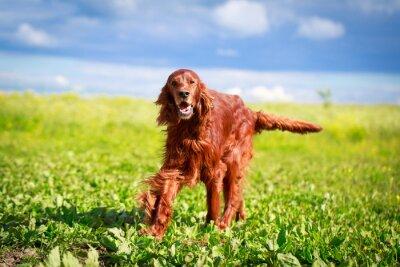 Adesivo Cane rosso setter irlandese