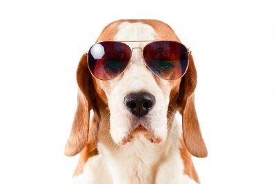 Adesivo cane sentinella in occhiali da sole su bianco
