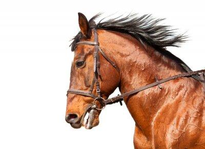 Adesivo Cavallo di baia di profilo su sfondo bianco. Avvicinamento.