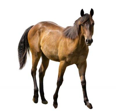 Adesivo Cavallo isolato