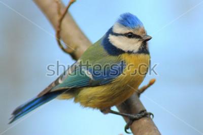 Adesivo Cinciarella sul ramo davanti il bellissimo sfondo