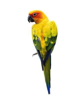 Adesivo Colorato Sun Conure, il bello o pappagallo giallo uccello isolato