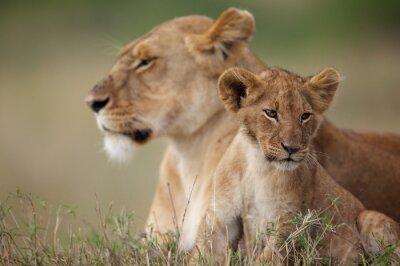 Adesivo Cub di leone con la madre in background