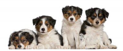 Adesivo Cuccioli di Border Collie, 6 settimane di vita