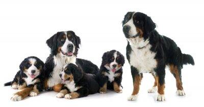 Adesivo cuccioli e adulti bernese cane bike