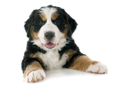 Adesivo cucciolo di cane bernese moutain