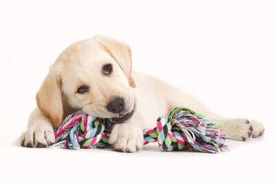 Adesivo Cucciolo di labrador che morde in un giocattolo colorato