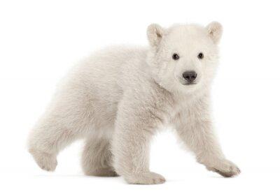 Adesivo Cucciolo di orso polare, Ursus maritimus, 3 mesi di età