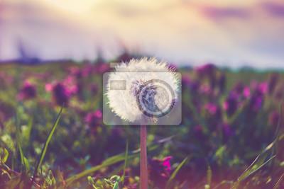Adesivo dandelion macro