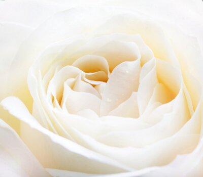 Adesivo delicato rosa bianca da vicino l'immagine