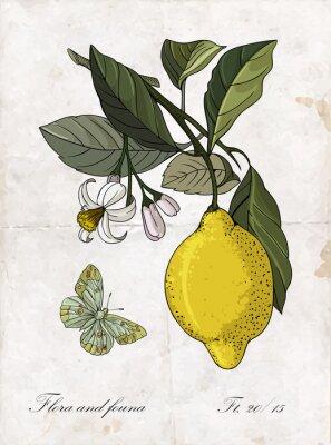 Adesivo Disegno vettoriale limone illustrazione branch.Botanical mano.