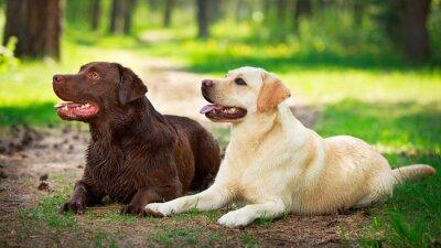 Adesivo due cani labrador retriever