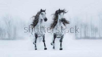 Adesivo Due cavalli purosangue purosangue a pelo lungo grigio in campo nevoso.