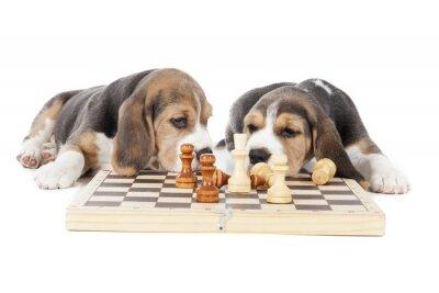 Adesivo due cuccioli di beagle giocare a scacchi su uno sfondo bianco in studio
