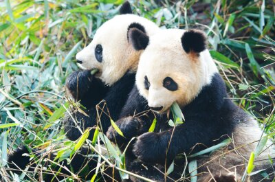 Adesivo Due Panda orsi mangiando bambù, seduti fianco a fianco, in Cina