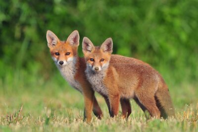 Adesivo Due volpi rosse