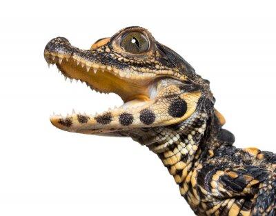 Adesivo Dwarf crocodile against white background