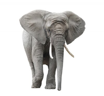 Adesivo Elefante africano isolato su bianco con il percorso di clipping