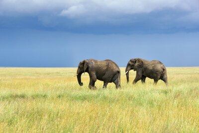 Adesivo Elefanti africani