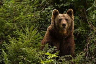 Adesivo Eurasian orso bruno